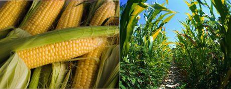 Сырьё для вареной кукурузы